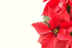 Poinsettia Christmas. Red christmas poinsettia isolated on a white background royalty free stock image