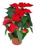 Poinsettia Christmas Flower. Poinsettia is a traditional Christmas Flower. Also known as Bethlehem Star in some countries. Isolated on white with clipping path Stock Images