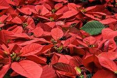 Poinsettia, Christmas Flower Royalty Free Stock Photos