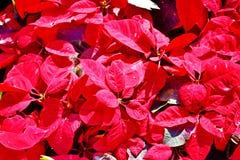Poinsettia , Christmas Flower Stock Image