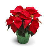 Poinsettia. Christmas Poinsettia Plant on White Background royalty free stock photo