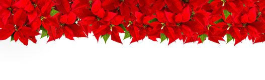 Poinsettia Christmas red flower white background royalty free stock image