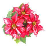 Poinsettia Christmas Star Stock Image