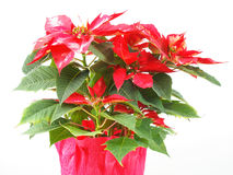 Poinsettia Christmas Star Stock Photos