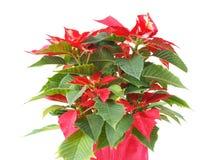 Poinsettia Christmas Star Stock Image