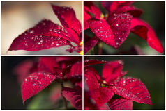 Poinsettia collage collaction Stock Photography