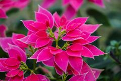 Poinsettia Color Pink leaf royalty free stock images