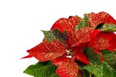 Poinsettia con scintillio Fotografia Stock