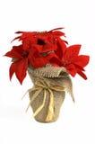Poinsettia de fleur de Chiristmast Image libre de droits