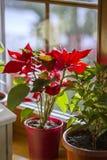 Poinsettia de floraison sur la fenêtre, fleur rouge d'étoile de Noël belle photo stock