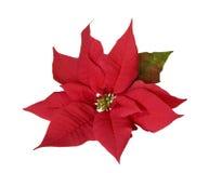 Poinsettia de la decoración de la Navidad fotos de archivo libres de regalías