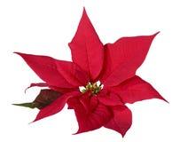 Poinsettia de la decoración de la Navidad foto de archivo libre de regalías