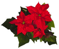 Poinsettia de Noël Photos stock