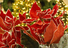 Poinsettia de Noël Photo stock
