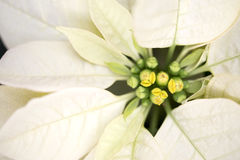Poinsettia de Noël Photographie stock