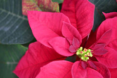 Poinsettia de Noël Photo libre de droits
