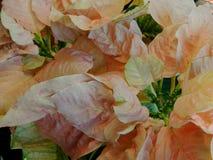 Poinsettia dentellare Fotografia Stock Libera da Diritti
