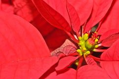 Poinsettia developing flower bud. Into a mature flower, Macro royalty free stock image
