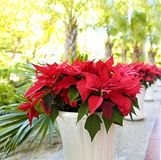 Poinsettia, die Blume, m rot ist, ilkweed ist schön in den Blumentöpfen auf der Straße, dem Weihnachts- oder Bethlehem-Stern lizenzfreies stockbild