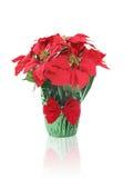 Poinsettia do feriado Imagens de Stock