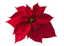 Poinsettia en blanco Foto de archivo libre de regalías