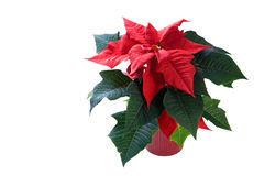 Poinsettia en el fondo blanco en crisol rojo fotografía de archivo libre de regalías