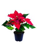 Poinsettia (Euphorbia Pulcherrima) Stock Photo