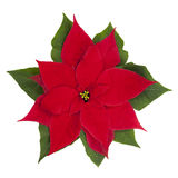 Poinsettia (Euphorbia pulcherrima). Royalty Free Stock Photos