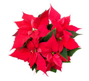 Poinsettia - Euphorbia pulcherrima Royalty Free Stock Photos