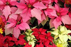 Poinsettia (Euphorbia Pulcherrima). Bloom in Yellow, Pink, Red Colors royalty free stock images