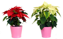 Poinsettia (euphorbia pulcherrima). Against white background stock images