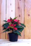 Poinsettia. (euphorbia pulcherrima) against wooden background in morning time stock image