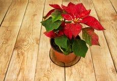 Poinsettia (Euphorbia pulcherrima) or Bethlehem Star on wooden b Stock Image