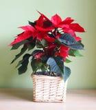 Poinsettia Royalty Free Stock Image
