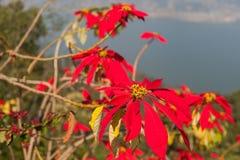 Poinsettia (Euphorbia pulcherrima) Stock Photo