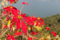 Poinsettia (Euphorbia pulcherrima) Stock Image