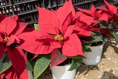Poinsettia Euphorbia pulcherrima potted- Red Christmas stars. For sale royalty free stock photo