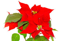 The poinsettia (Euphorbia pulcherrima) with red and green foliage, Christmas floral displays in a flower pot, vase. Royalty Free Stock Images