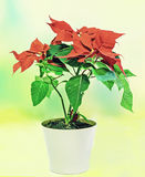 The poinsettia (Euphorbia pulcherrima) with red and green foliage, Christmas floral displays in a flower pot, vase. Stock Photo