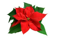 Poinsettia (Euphorbia pulcherrima) on white Royalty Free Stock Images