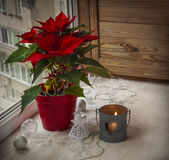 Poinsettia  (Euphorbia pulcherrima) on the window. Advent Stock Photos