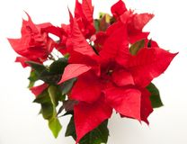 Poinsettia, Euphorbia, the star of Bethlehem stock photo