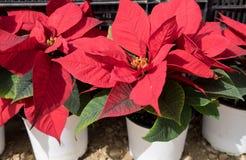 Poinsettia-Euphorbiengummi pulcherrima eingemachte rote Weihnachtssterne stockfoto