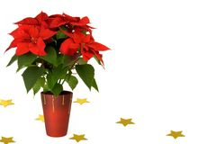 Poinsettia (Euphoria pulcherrima) Royalty Free Stock Photos