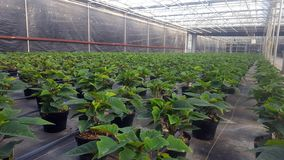 Poinsettia farm greenhouse. Greenhouse full of green growing poinsettias stock image