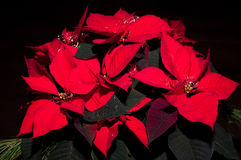 Poinsettia festivo Fotografia Stock