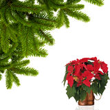 Poinsettia and fir branches. On the white Royalty Free Stock Photo