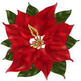Poinsettia Flower. Drawn with gradient mesh Stock Photo