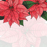 Poinsettia flower background for invitation  card Royalty Free Stock Photo