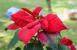 Poinsettia flower Royalty Free Stock Photo